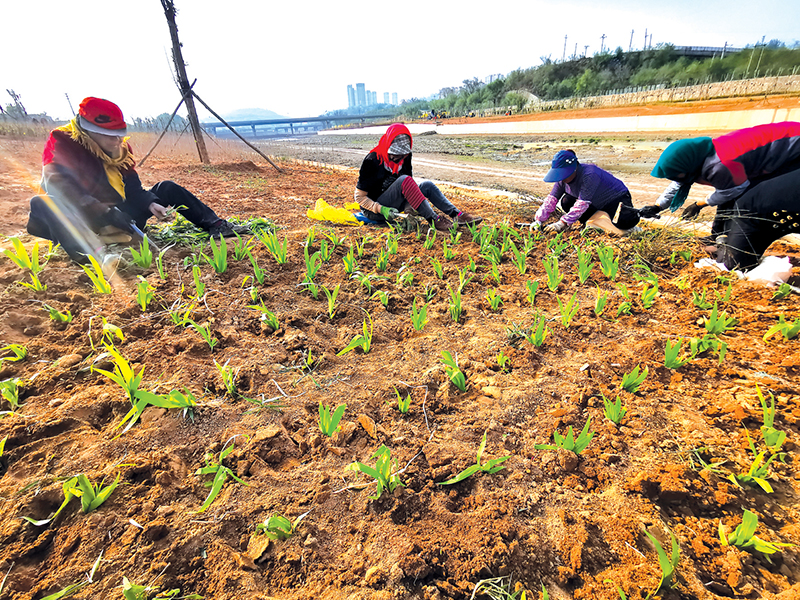 桃河、义井河河道生态综合治理二期工程现场,工人正在进行绿化作业
