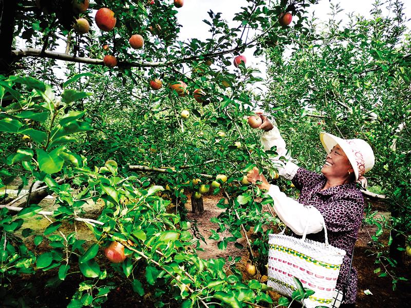 苹果红了,农民乐了
